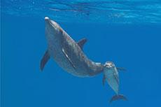 Dolphins inspire pipeline sensor technology